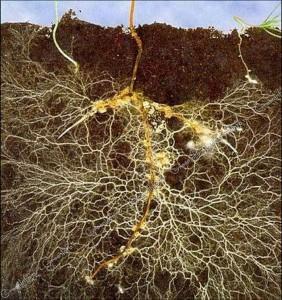 Разветвленная корневая система бобового растения с клубеньками, в которых живут бактерии, соединяющие содержащиеся в воздухе молекулы азота с другими молекулами, в результате чего получаются вещества, доступные для растений.