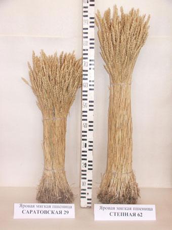 Растения сорта яровой мягкой пшеницы Степная 62 в сравнении с Саратовской 29.