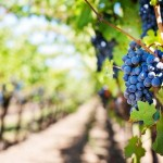 Весенняя посадка виноградников