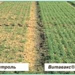 Внимание: бактериозы на зерновых полях. Роль протравителя семян Витавакс® 200ФФ при нулевых технологиях