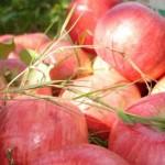 Выращивать польские яблоки начнут в Казахстане
