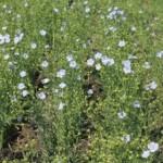 Лён масличный: особенности возделывания, защиты, уборки