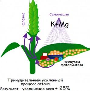 Схема процессов, происходящих  в растении при сеникации