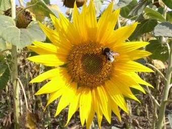пчела опыляет подсолнечник