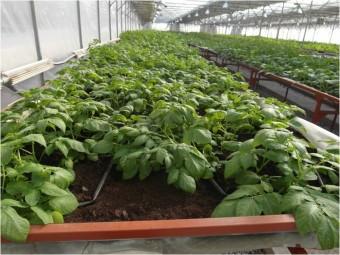 В теплице Завода по производству миниклубней картофеля