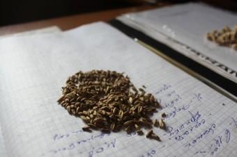 Обычная пшеница - копия