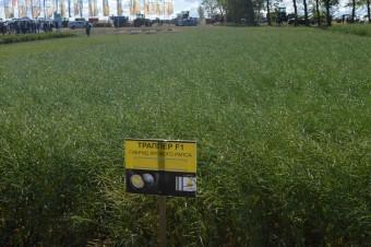 Гибрид рапса с высокой потенциальной урожайностью - копия