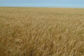 Фото 1. Пшеница мягкая Любава 5 - копия