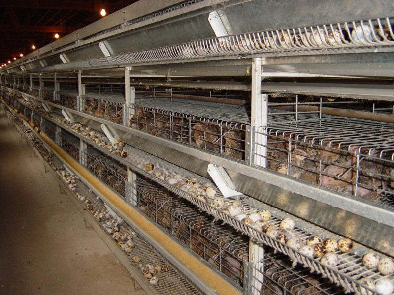 ovos-de-codornao-galados-pague-12-leve-15-por-apenas-r-550-96-MLB4647197607_072013-F
