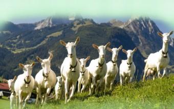 Зааненская порода коз - копия