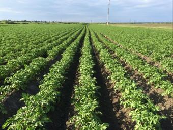 картофельное поле - копия