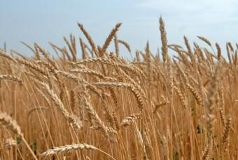 пшеница на мировой баланс