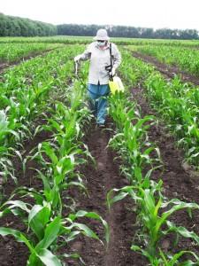 Некорневая подкормка в фазу 8-9 листьев кукурузы - копия