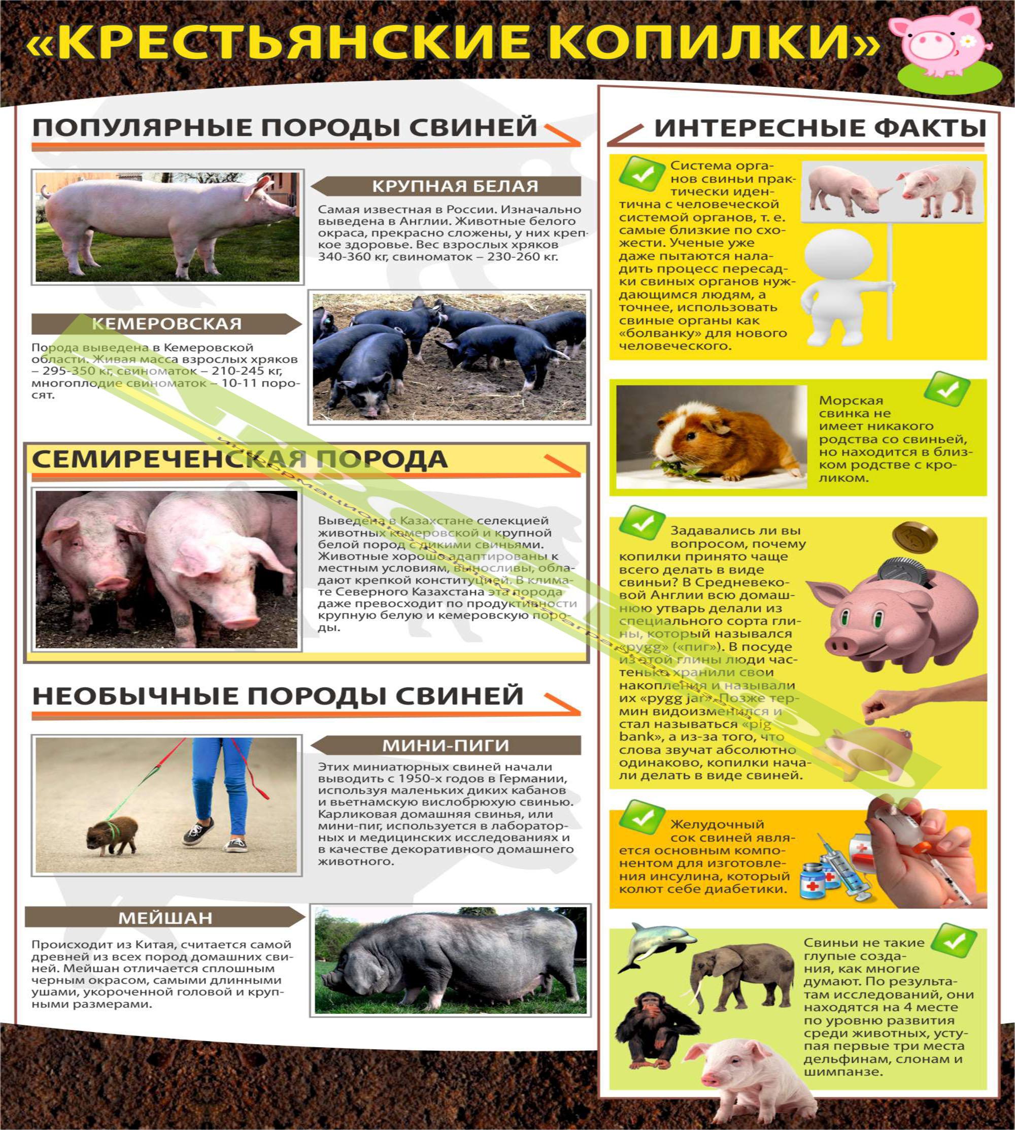 11п Инфографика (свиноводство) А3_15_СО - 04