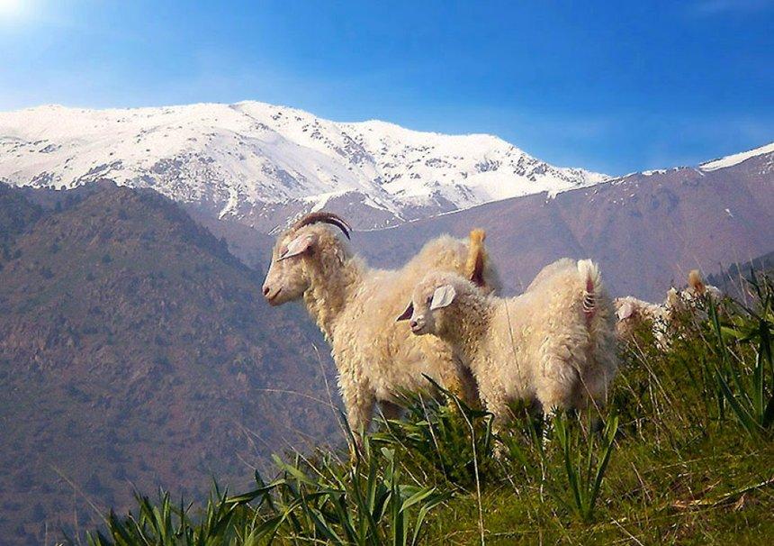 фотографии баранов на фоне гор делать полосную операцию