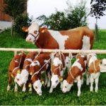 У нас имеется 7 племенных коров симментальской породы и 5 телят от 2 до 4 месяцев. Можем ли мы на них получить субсидии?