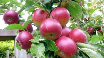 1_Apples