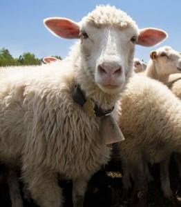sheep5533