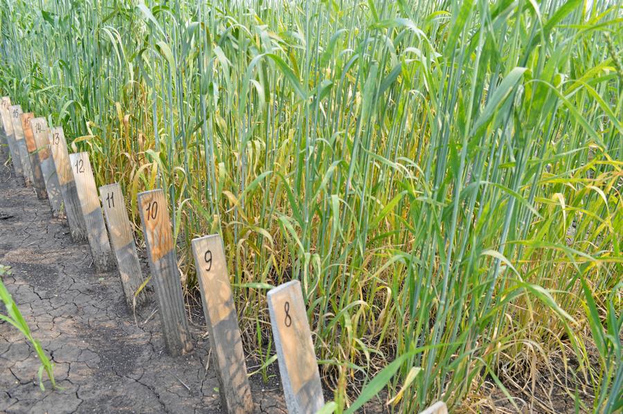 Выращивание зерновых культур ооо 883