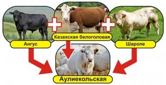 Инфографика (коровы) 169х83_04_ЦВ