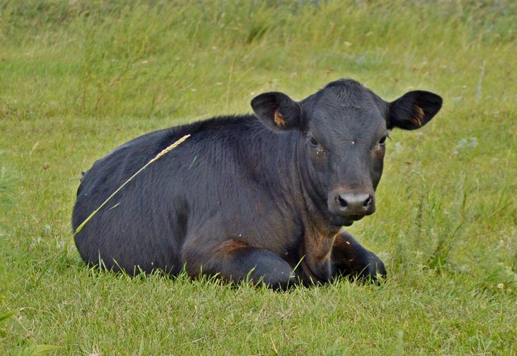 Метис ангусов - возраст 5,5 мес