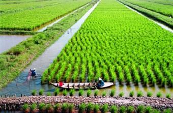 ris_po-vietnamskoi-texnologii