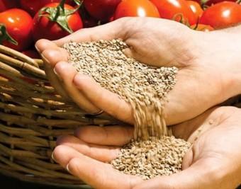 svoi-semena-tomatov-1