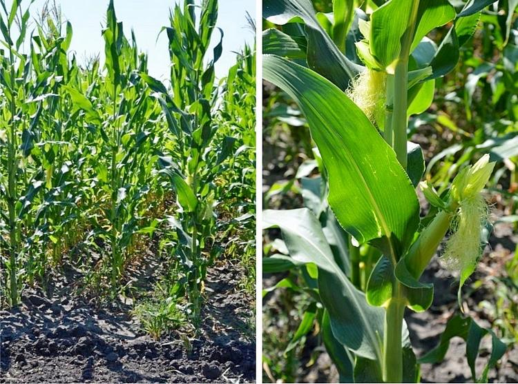 Гибрид кукурузы MV 214