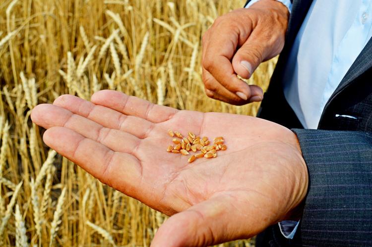 Озимая пшеница на 26 июля 2016 года
