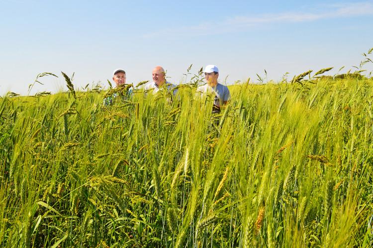 Фото 4. Пшеница твердая сорта Костанайская 12