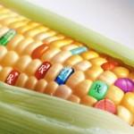 Чешские аграрии отказываются от возделывания ГМО-кукурузы
