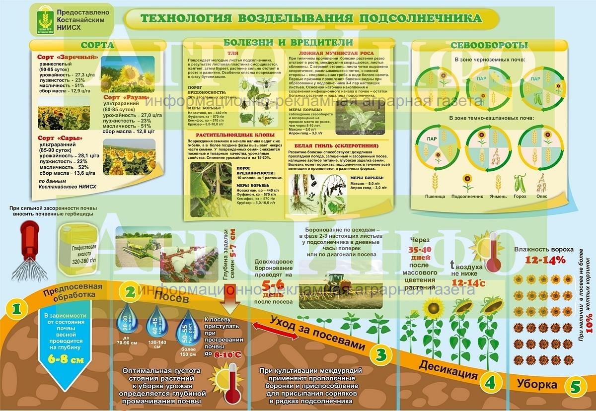 """Инфографика """"Технология возделывания подсолнечника"""". Нажмите на картинку, чтобы увеличить её."""