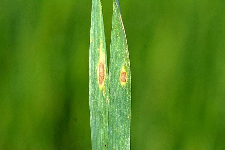 хранения пиренофороз озимой пшеницы фото картинки поздравлениями для