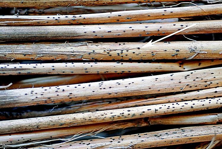 Рис. 3. Псевдотеции P. tritici-repentis на соломе пшеницы, S.N. Wegulо, 2011