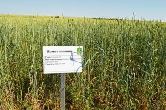Фото 1 - Органическая мягкая пшеница после суданки (10-08-2016 г.)