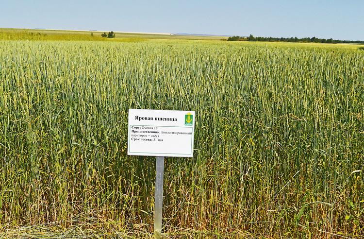 Фото 2. Органическая мягкая пшеница после гороха-овса (10.08.2016 г.)