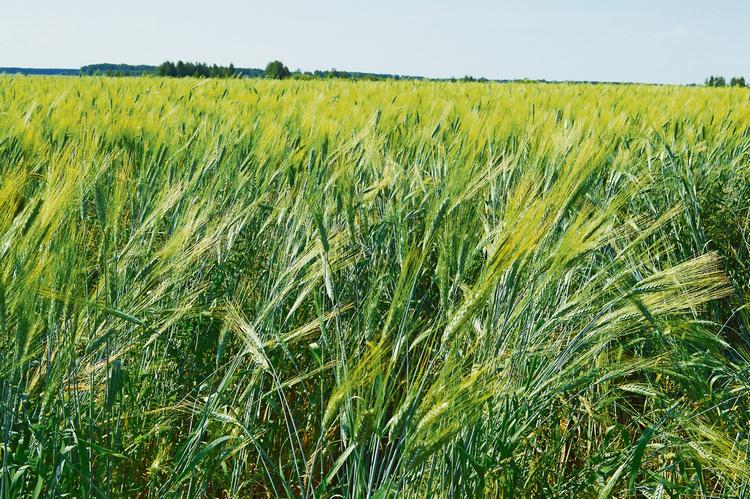 Фото 3 - Органическая твердая пшеница (10-08-2016 г)
