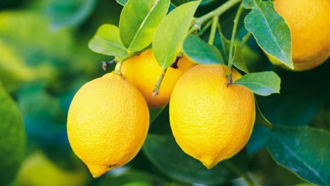 1_Lemons-650x366