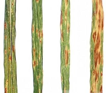 Pyrenophora tritici-repentis (Died.) Drechsler. - Желтая пятнистость (пиренофороз) пшеницы.