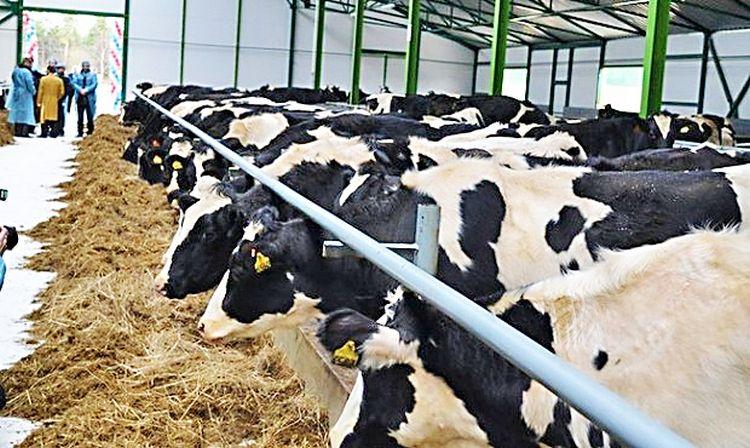Тёлки быков-производителей голштинской черно-пестрой породы. Кличка «Омедо 10»