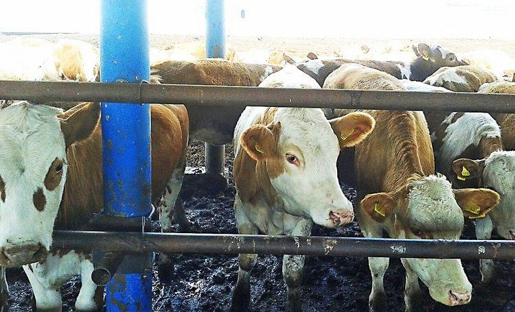Телята быков-производителей симментальской породы Seмаl, Wildfang. «ТОО «Галицкое», Павлодарская обл.