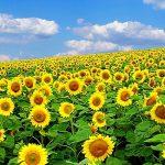 Подскажите начинающему агроному – какие экологические удобрения применить и какой их расход будет на 1 га земли для выращивания подсолнуха?