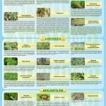 Инфографика «Вредные объекты зерновых культур» (ч. 2)