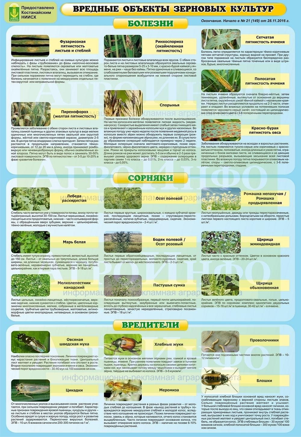 """Инфографика """"Вредные объекты зерновых культур, ч. 1"""". Нажмите на картинку, чтобы увеличить её."""