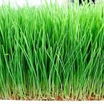 Житель Жанаозена выращивает газон для скота в домашних условиях