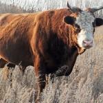 Сельский предприниматель почти год не мог получить субсидии на породистого быка из-за ошибки специалиста государственного коммунального предприятия