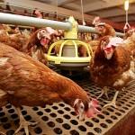 Птицефабрику в Тюлькубасском районе построят арабские инвесторы