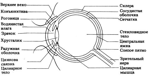 Схематическое изображение строения глаза млекопитающего
