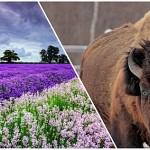 В Атырау будут разводить бизонов и выращивать лаванду на полях