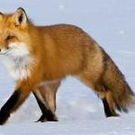 Браконьеров с 9 тушами лис поймали в Акмолинской области